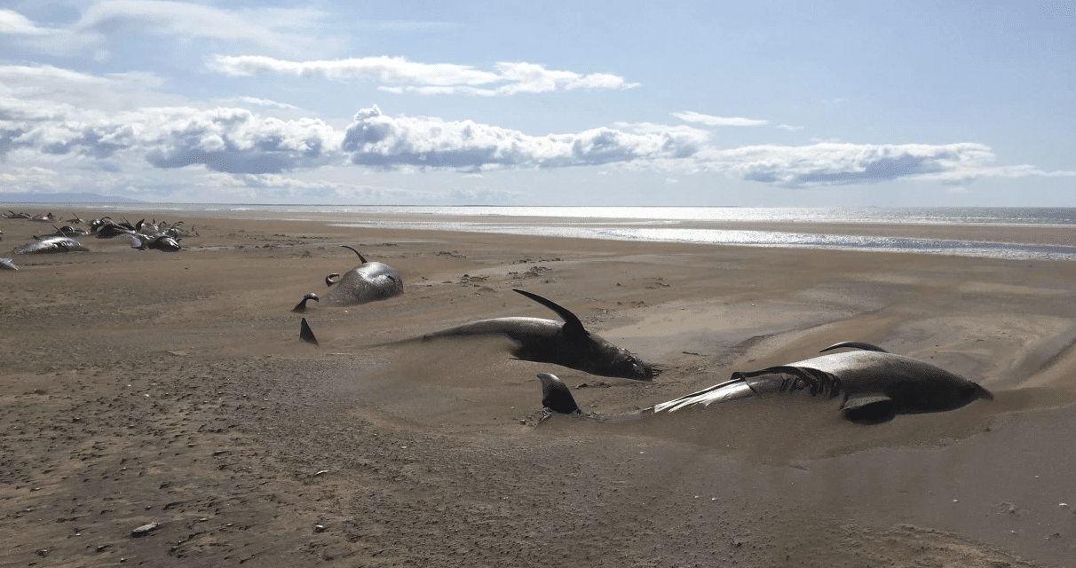 Mystery as 50 dead whales found washed up on beach in Iceland
