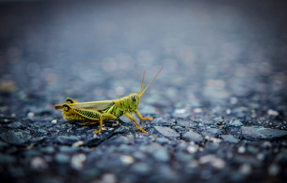 Swarms of grasshoppers have invaded Las Vegas