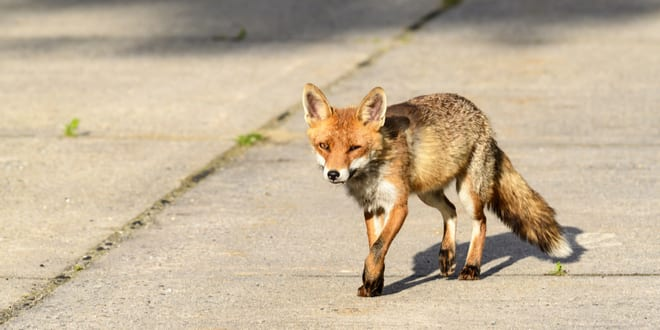 """Foxes Seen at Temple Mount Seen As """"Prophetic Proof"""" Jerusalem is Returning to Former Glory"""