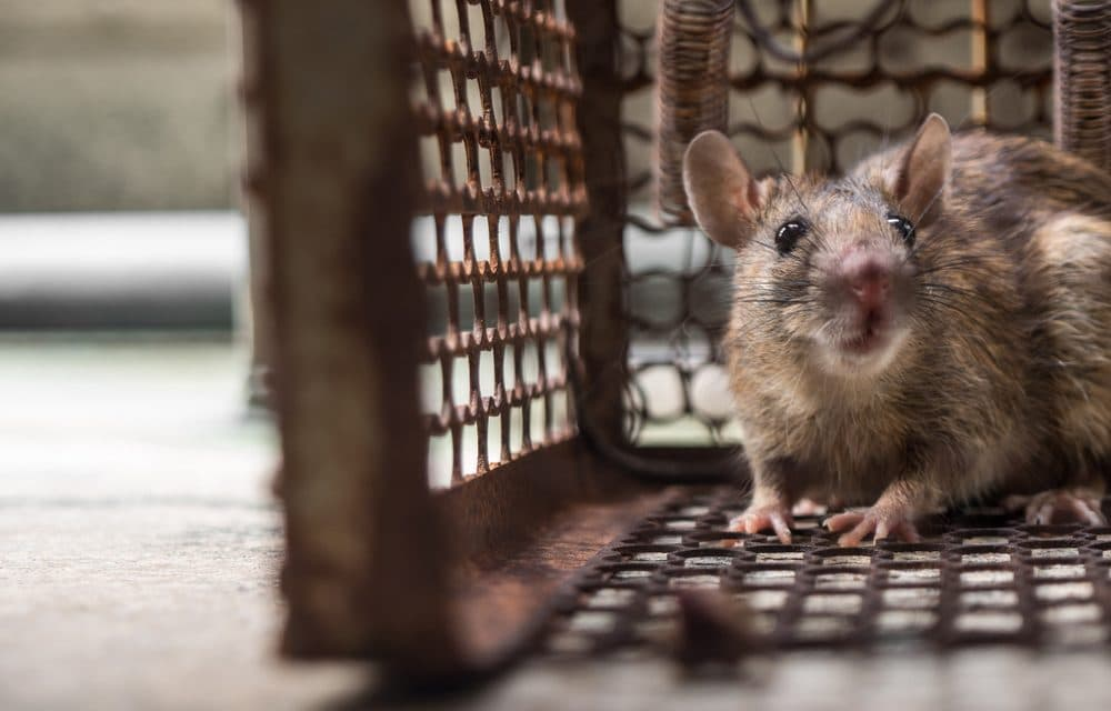 Rat-human hybrids planned by scientists in chilling glance into the future