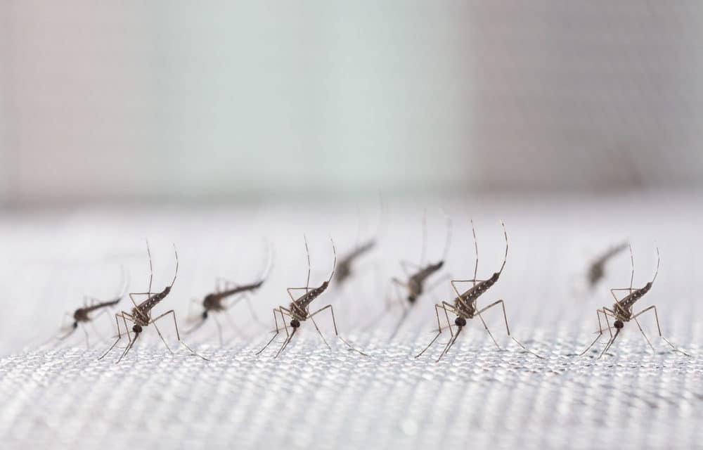 Mosquito Virus Has Become Worst Outbreak in 50 Years