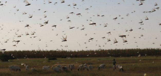 "Locust swarm of ""Biblical Proportions"" reach Saudi Arabia"