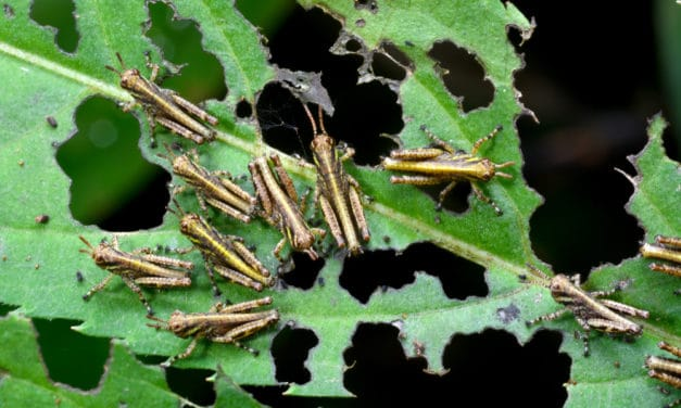 """UN warns most devastating locust plague in """"living memory"""" may come within weeks"""