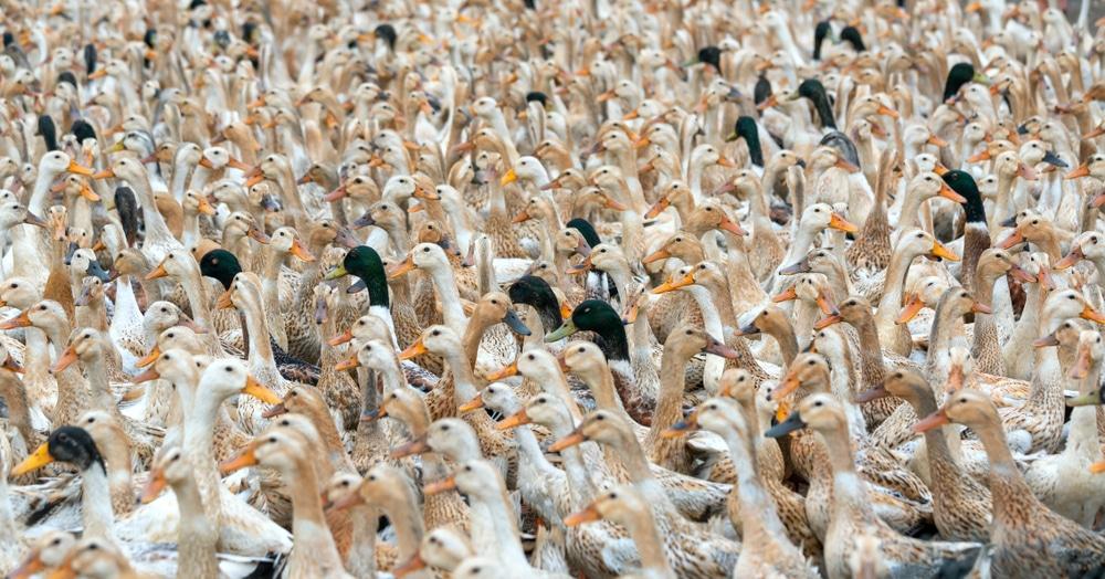 China Prepares Army of 100,000 Ducks to Combat Locust Swarms