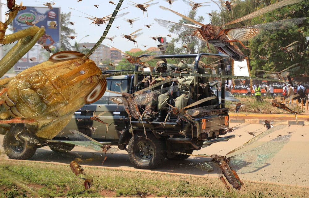 Uganda deploys military to combat locust plague as devastation intensifies
