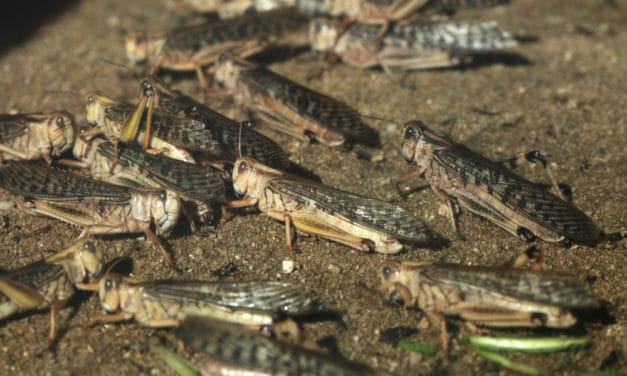 Locusts Outbreak Could Grow 500 Times Bigger by June