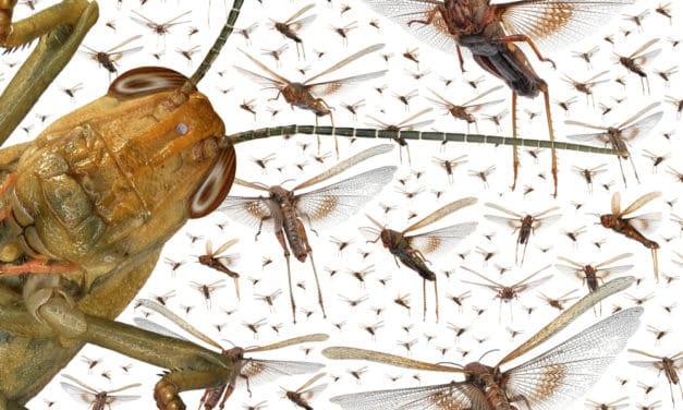 Locust swarms reach Saudi Arabia and Yemen blacking out the sky