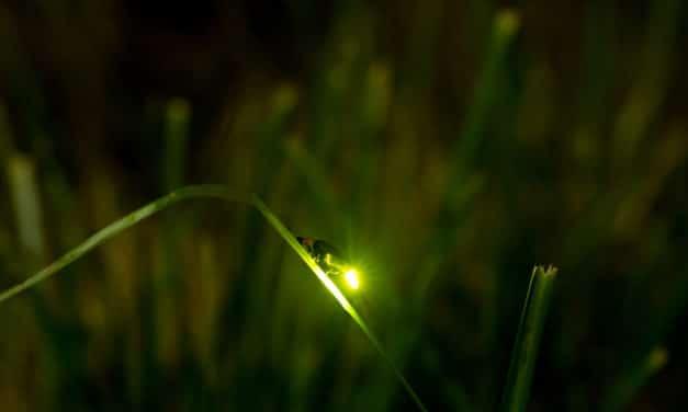 Fireflies around the World are facing extinction