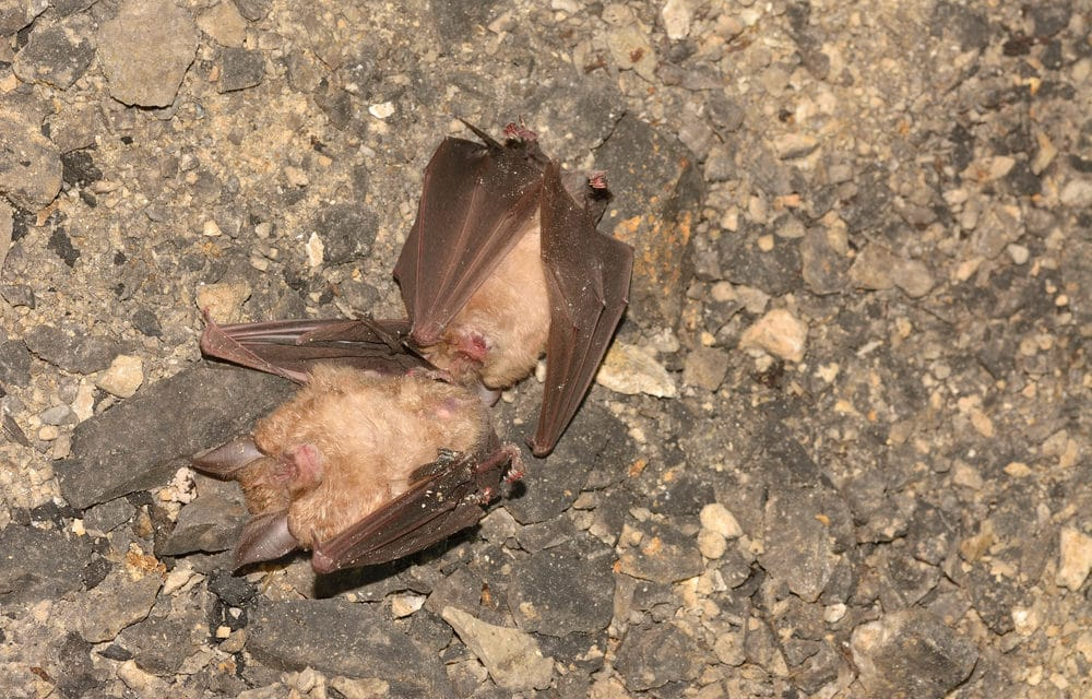 Bats mysteriously dropping dead across Israel fulfilling biblical prophecy?