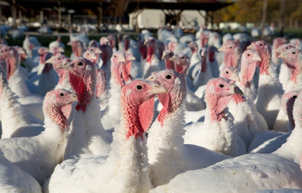 Deadly bird flu found in South Carolina commercial turkey flock