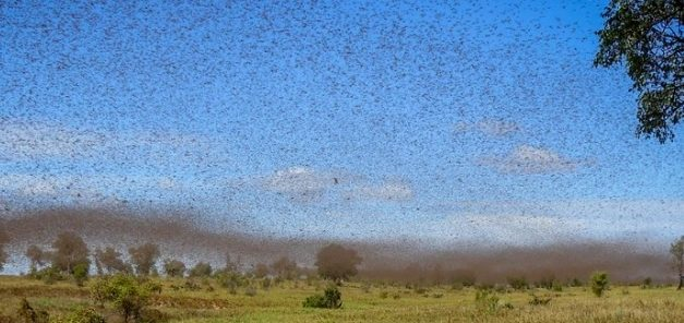 Iran faces worst locust plague in 50 years, Second year in a row