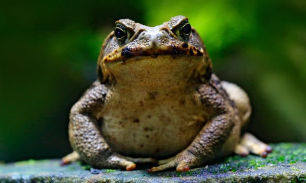 Heavy Rains in South Florida Drive Out Giant Toxic Toads