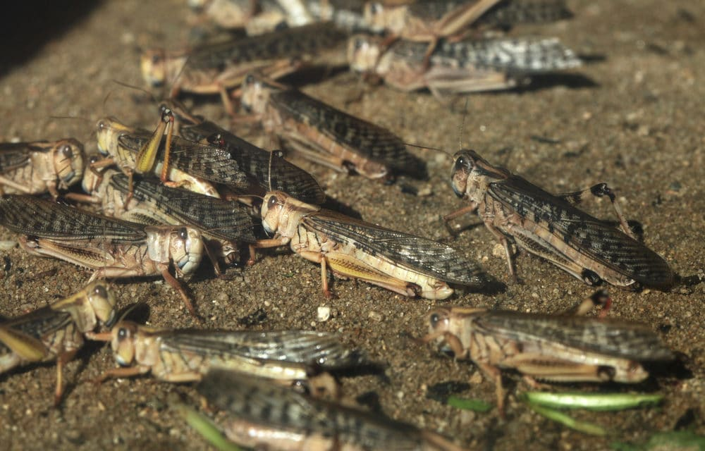 Locust Plague goes Global Hitting Argentina: 'An End of Days Prophecy' says Rabbi