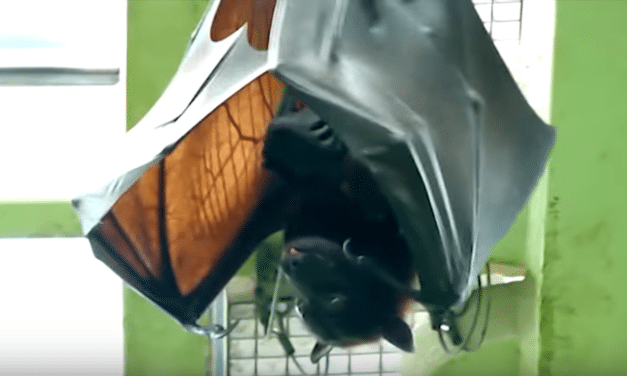 Human-sized giant bat leaves people convinced they've seen a demon…