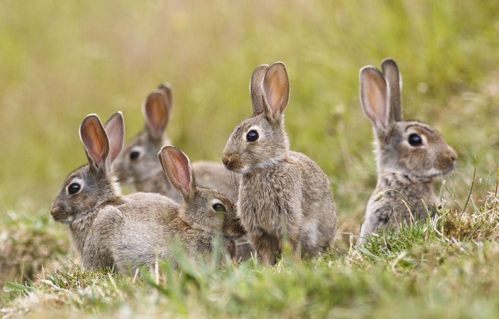 Ebola-Like Virus Continues Wiping Out  Thousands Of Pet Rabbits in Southwestern U.S.