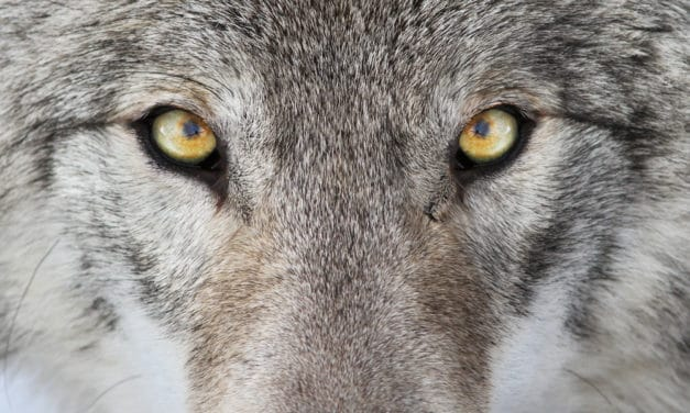 7 Recognizable Traits of Wolves in Sheep's Clothing