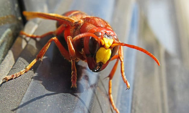 Asian giant hornet has potential to spread down West Coast