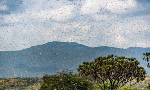 Locust Swarms Back Again, Threaten Parts Of East Africa
