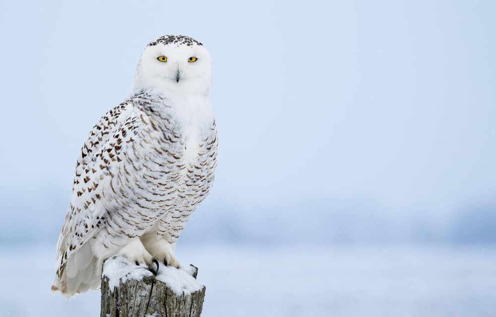 Snowy Owl Spotted In Central Park For First Time In More Than 100 Years