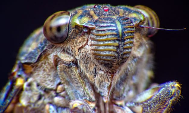 Trillions of Cicadas to swarm the US for the first time since 2004
