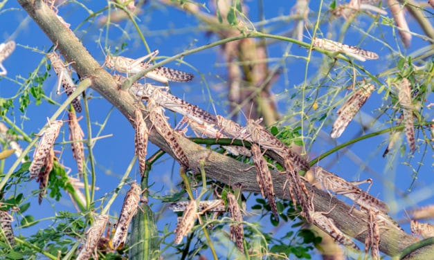 """A """"Biblical"""" Invasion Of Locusts Threatens To Cause Widespread Famine In The Horn Of Africa"""