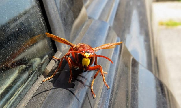 """Scientists warn of murder hornet nests this spring: """"Serious danger to our health"""""""