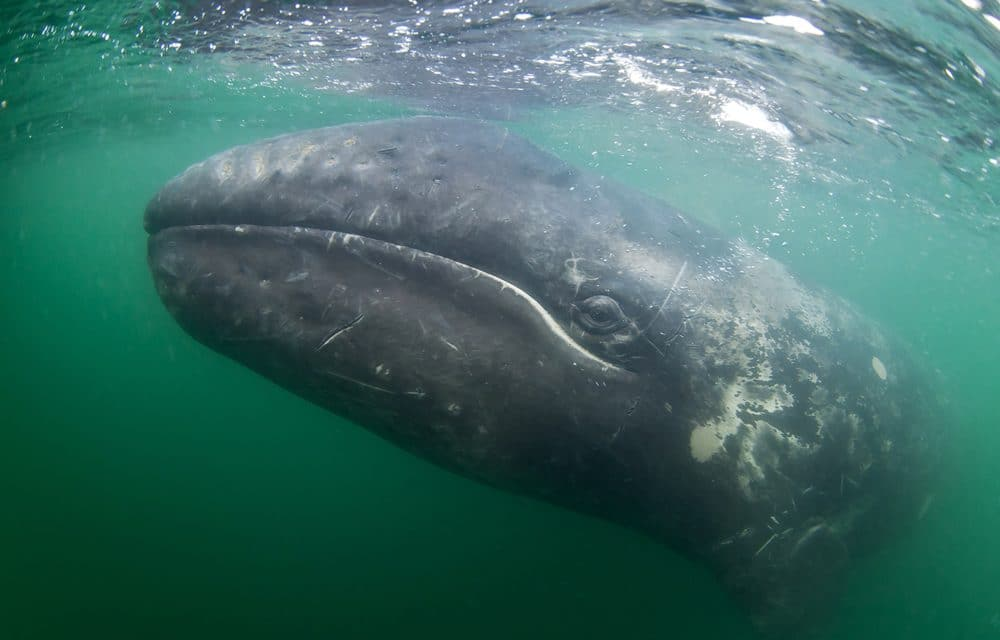 Scientists alarmed after 4 gray whales found dead in Bay Area over 8 days