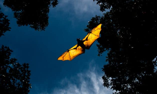 Fatal 'rabies-like disease' discovered in bats in Australia poses threat to humans
