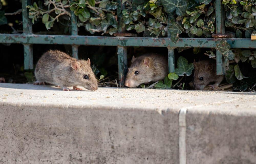 Mice Plague continues to torment Australians