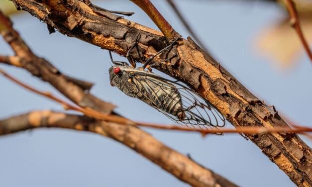 Within days or weeks, Trillions of cicadas will emerge after 17 years underground