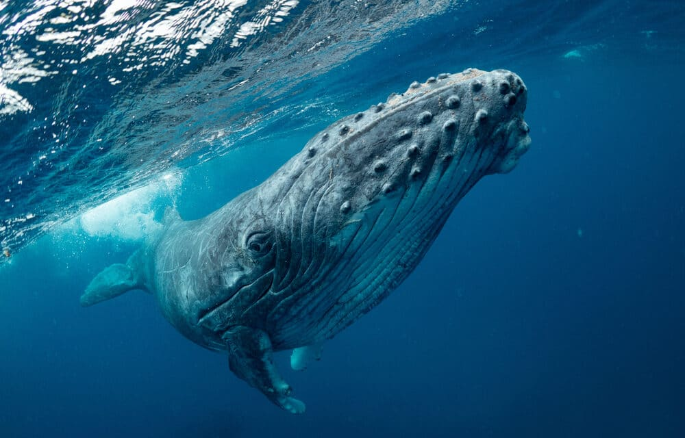 """Whale swallows man off Massachusetts' coast and spits him out, in what some are calling the """"Jonah of our time"""""""