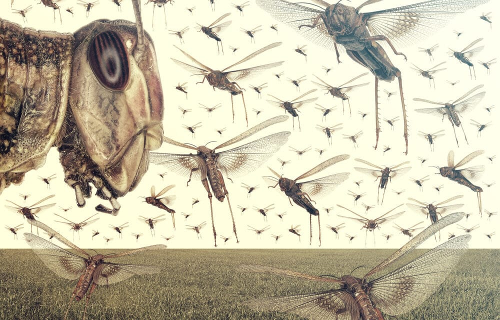 Drought conditions in the West producing Grasshopper swarms