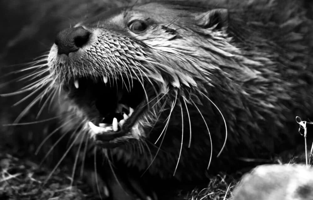 DEVELOPING: Otters exhibiting unusual and mysterious behavior, attacking people and dogs in Alaska's largest city