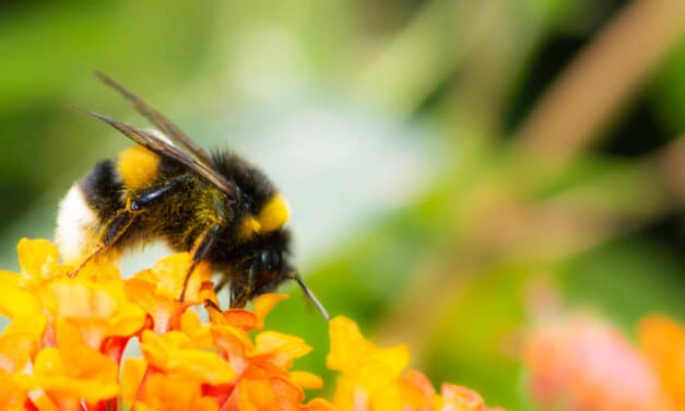 Bumblebees have disappeared across 8 states in the US, Experts warn they face extinction
